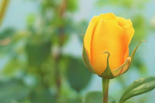 노란 장미의 봉오리 배경 소재