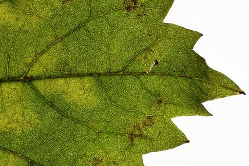 녹색 잎 の 에센 (잎) (9)