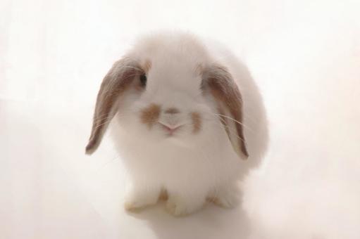兔荷蘭羅布泊