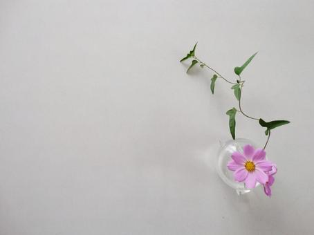 Vase of cosmos and ivy