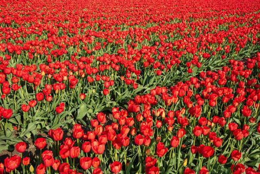 빨간 튤립 밭 (품종 캐나다 리버 레이터)