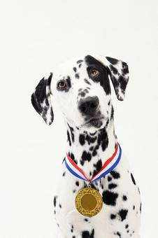 Dalmatian with gold medal