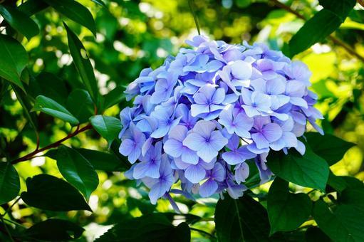 京都三室寺藍繡球花