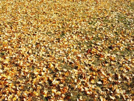 Ginkgo fallen leaves carpet