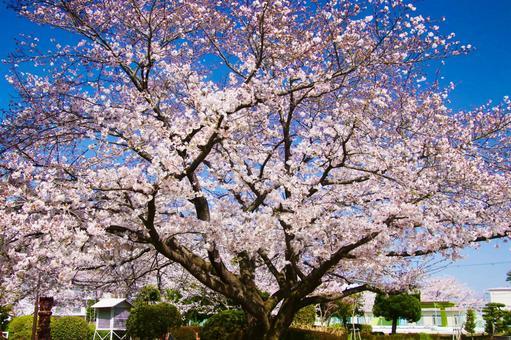 큰 벚꽃 나무가 만개