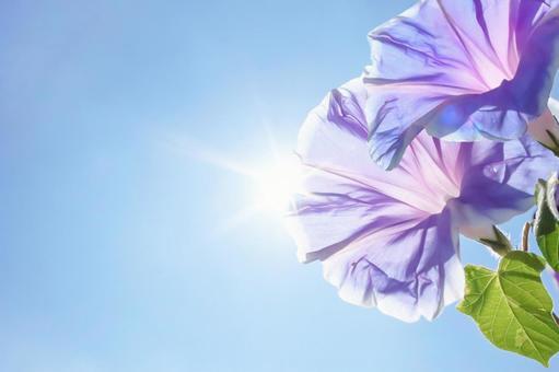 牽牛花、天空和太陽花