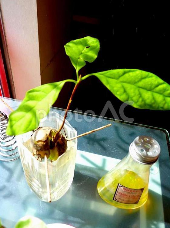 アボカド 水栽培の写真