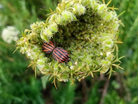 Wild carrot and stink bug