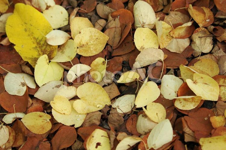 落ち葉 紅葉 秋 葉 黄色 茶色 背景 テクスチャの写真
