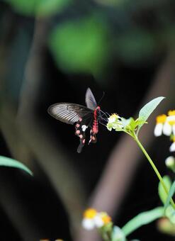 이시가키 섬의 나비들 _002 베니몬아게하
