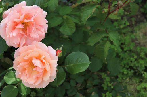 핑크 장미의 배경 소재