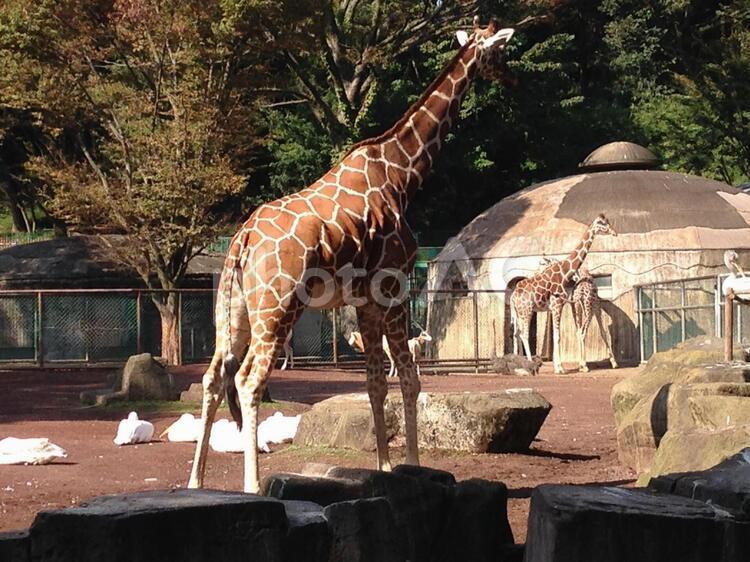 キリン・多摩動物園の写真