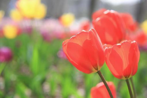 Tulip up