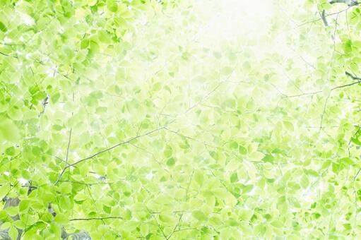 Beech forest's soft light