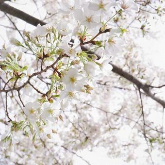 왕 벚나무