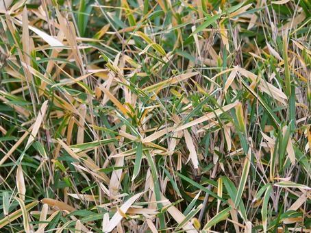 Dead leaves of bamboo grass