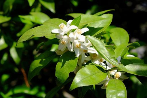 Sudachi flower