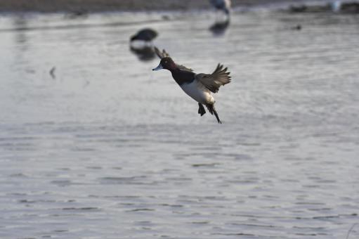 スズガモの雄が着水する様子  バーナビー ブリティッシュコロンビア カナダ