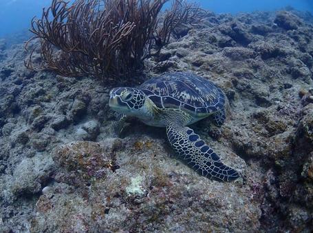 산호 위에 바다 거북 오키나와의 바다