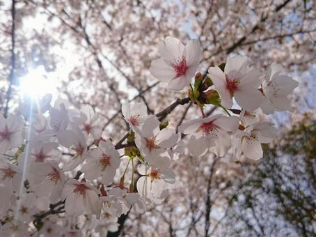Cherry blossoms and light