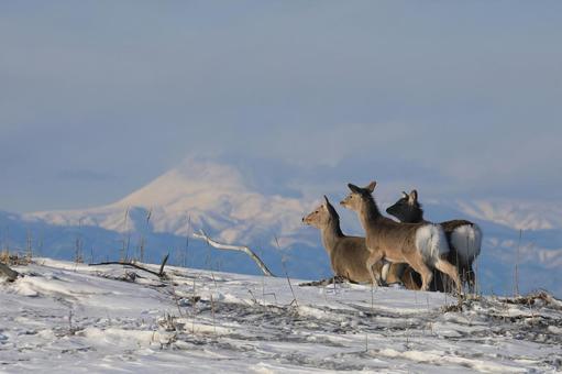 [Hokkaido] Yezo deer and Mt. Rausu on the Notsuke Peninsula