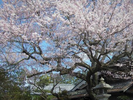Sakura on the road of Kyoto philosophy