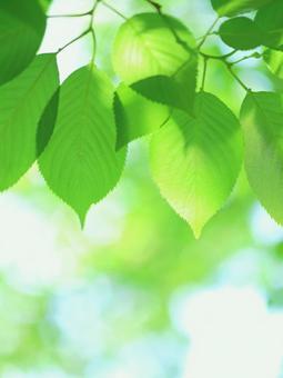 Fresh green leaves Young leaves Sakura