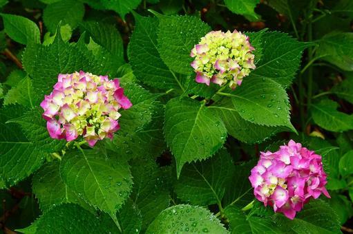 Rain-soaked hydrangea (pink, green gradation)