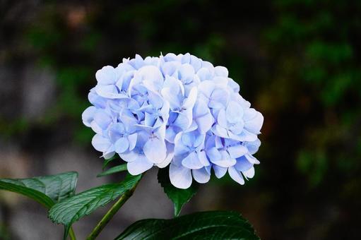京都高瀨川藍色繡球花