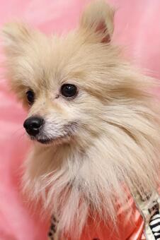 Pomeranian 4