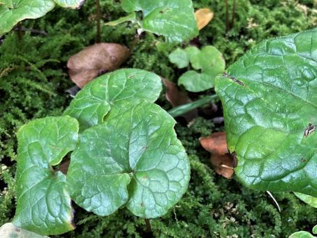 Asarum caulescens