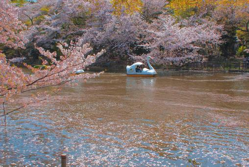 Cherry blossoms and duck boats
