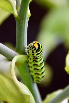 냄새 각도를내는 키 아게하 유충