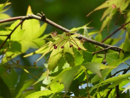 Acer palmatum flower