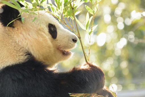 Giant panda of profile 20