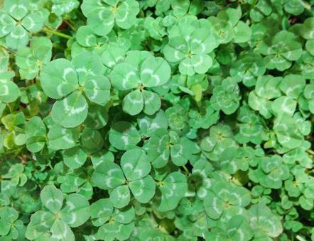 Four leaf clover grassland