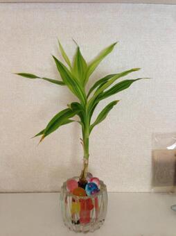Foliage plant