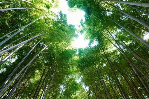Looking up at the small diameter of the Arashiyama Sagano bamboo grove in Kyoto