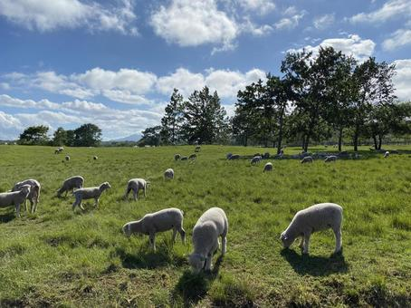 A flock of sheep eating grass