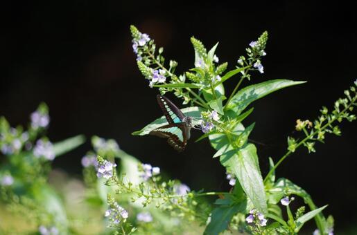 청띠 제비 나비 1