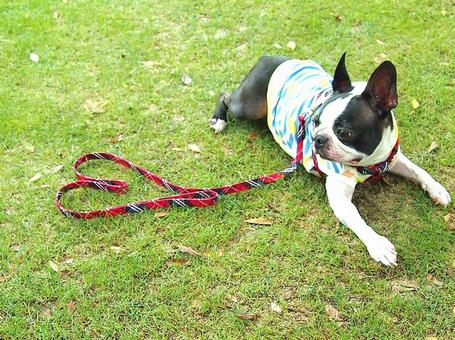 Dog and Heart (Boston Terrier)