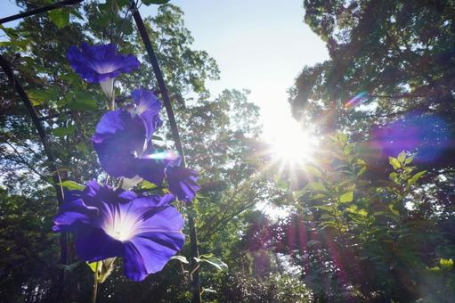 Morning glory Asagao purple