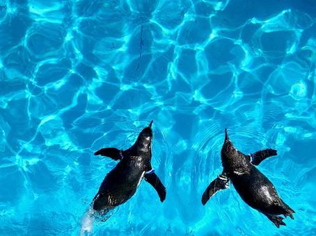 Aquarium swimming penguin encounter