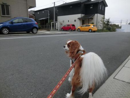 Dog walk / pretend to tail