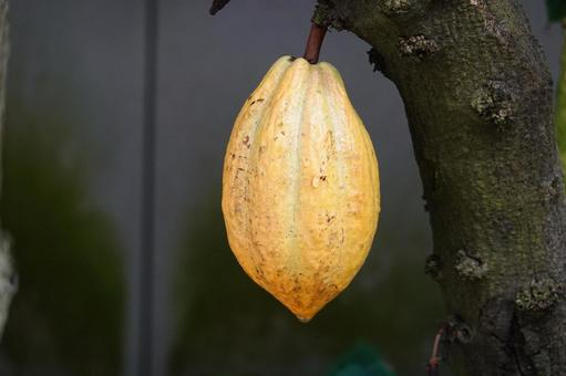 Cacao fruit that becomes a tree Chocolate raw material