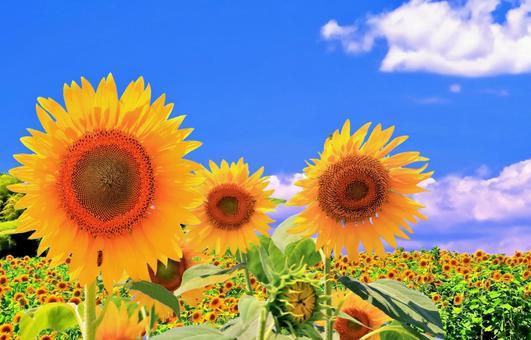 Blue sky and sunflower flowers