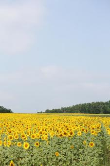 A vast sunflower field in Hokkaido