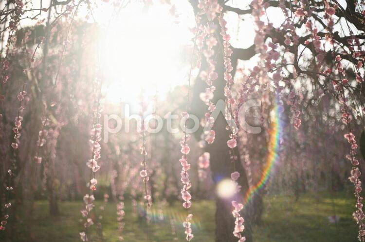 光を浴びる枝垂れ梅 フレアーの写真