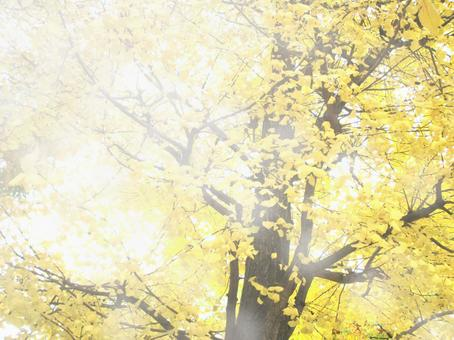 Ginkgo tree and sun leaves
