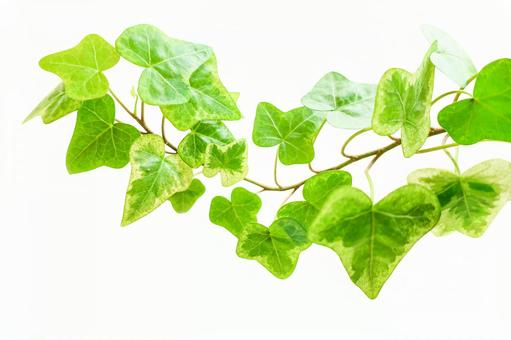 Cut out ivy (PSD data is divided into layers)